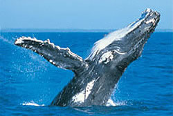 Humpback Whale Gold Coast - Top 20 Things to do in Queensland