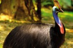 Cassowary - Gold Coast Theme Parks