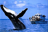 Whale Watching Hervey Bay Australia